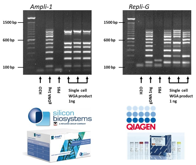 Isolate single cells and amplify its DNA with commercial kits of Silicon Biosystems (Ampli1)